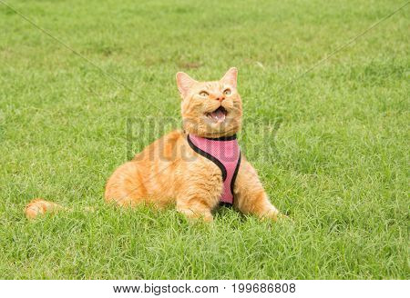Handsome ginger tabby cat in a pink harness on green summer grass, meowing