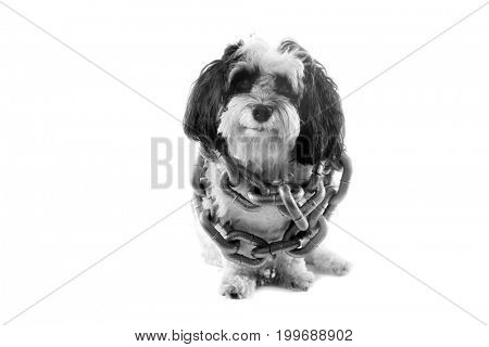 black and white dog. A black and white Havanese dog wears gold chains and a king crown. isolated on white with room for text. black and white