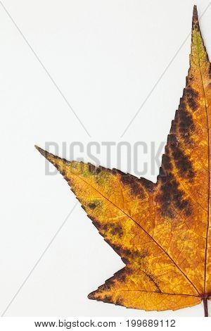 Autumn colored Liquidambar styraciflua leaf on white background
