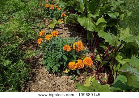 Marigold plants nestled between red beet and carrot plants.  Marigolds are companion plants and deter nematodes from attacking root crops.