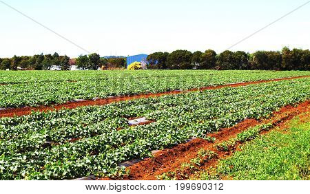 Farming Strawberries in the rich red fertile soil of Bundaberg. Queensland Australia