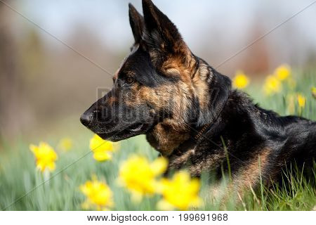 Attentive German Shepard dog on meadow between yellow flowers