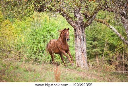 Beautiful Horse galopp on summer light meadow frontal