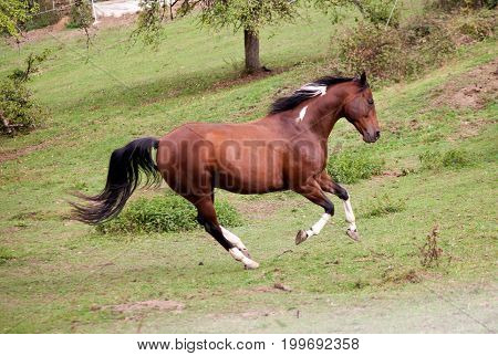 pied horse pinto colored galopp powerful free in meadow. Side view. Summer with bright colors