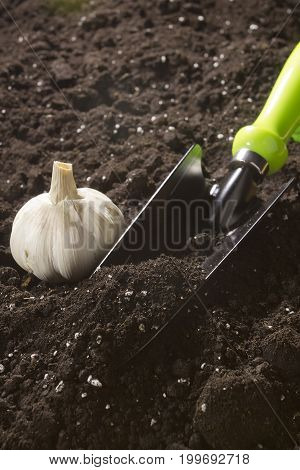 Garlic head and scapula on freshly plowed soil