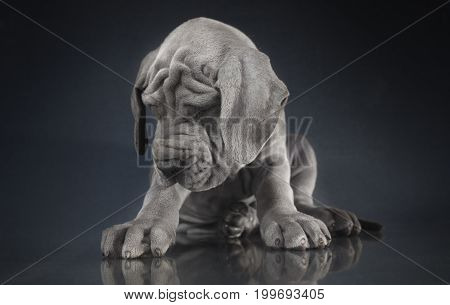 Great Dane purebred puppy with gray hair that looks sleepy