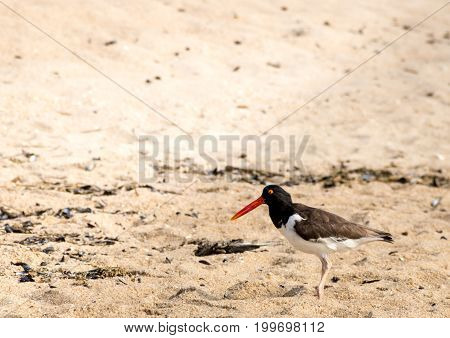 American Oystercatcher (Haematopodidae) walking on the beach