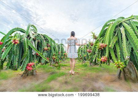 Mui Ne, Vietnam - December 4th, 2016: Young woman strolling into dragon fruit garden promises a good harvest for farmers in Mui Ne, Vietnam.