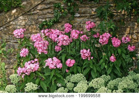 Pink Phlox And Ice Plant