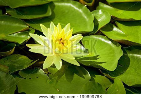 Yellow Water Lily lotus using in Spa
