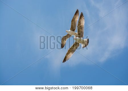 Two Seagulls Flying In A Sky