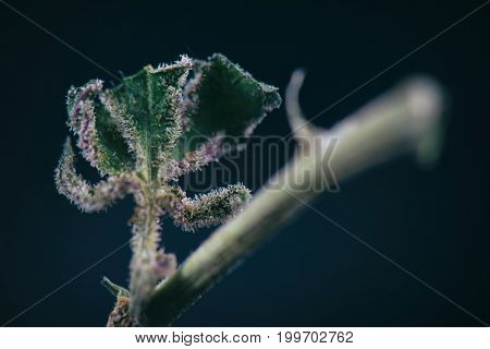 Macro detail of cannabis stem with weed leaf showing trichomes (ambrosia marijuana strain) isolated over black background