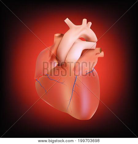 anatomy human heart artery and vein on cardiac