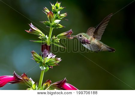 Hummingbird feeding from purple flower over green summer background