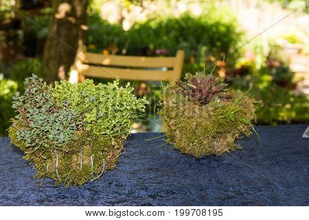Succulent perennials in decorative mossy baskets on a garden table.