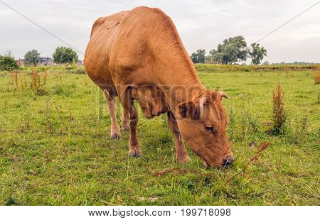 Brown cow with horns grazes in the floodplains of Dutch river. Many flies are on the fur of the cow and around its head. It is a cloudy day in the summer season.