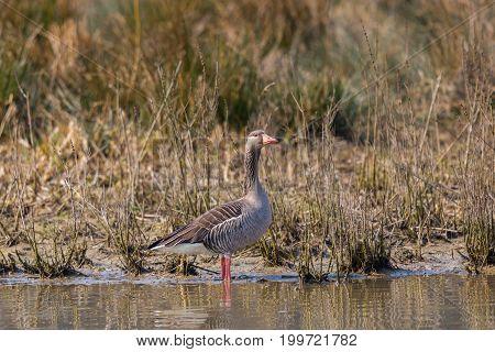 One Gray Goose (anser Anser) Standing On Shore Line