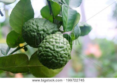 Green bergamot or Kaffir lime on tree. and bergamot tree have a Leaf disease.