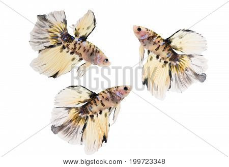 Siamese fighting fish (Double-Tail Halfmoon) Beautiful Tiger pattern tail isolated on white background.