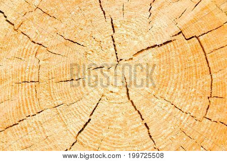 Cut of a fir trunk with age rings and cracks