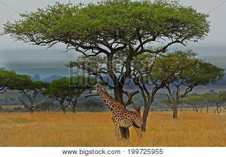 Giraffe standing on the open plains of the masai mara with a large acacia tree in the background - Kenya