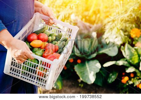Close-up of a farmer holding a basket of a box of vegetables: green cucumbers, red and yellow tomatoes, peppers, chili peppers. Concept harvesting in autumn, eco-farm. Blick light and sun.