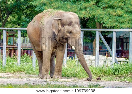 And the image of a large elephant walks in the enclosure of the zoo