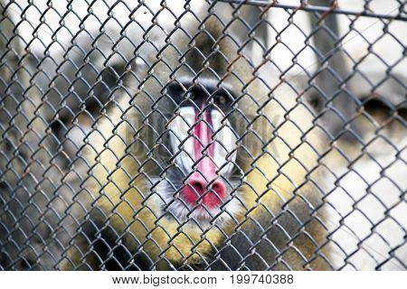 Face of colorful baboon monkey in a cage