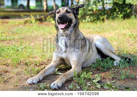 Happy Dog Is Lying On A Grass In A Park.