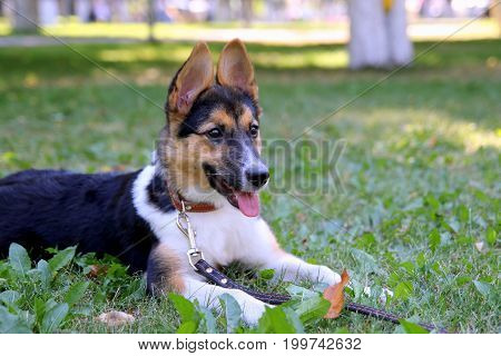 Happy Puppy Is Lying On A Grass In A Park.
