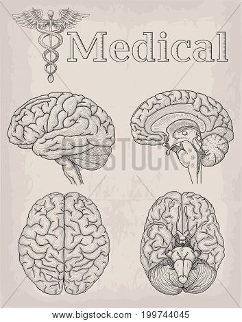 Anatomical Brain organ illustration. Medicine Vector illustration poster. Anatomical high detailed tattoo art. Medical study cadeus sign info graphics banner
