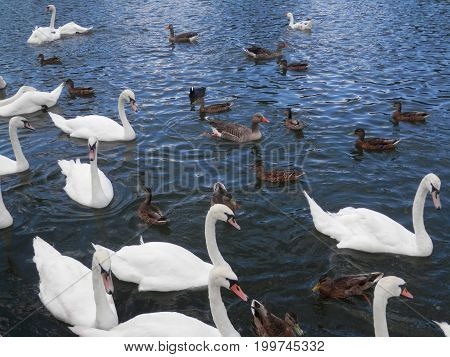 Large Crowd Of Mute Swans And Ducks Feeding In River Thames