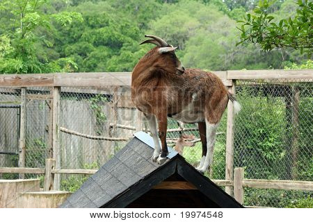 A goat hanging around on a roof top. poster