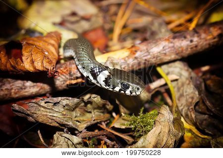 Grass snake or Natrix natrix on forest floor closeup. Non-venomous snake
