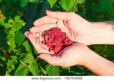 The Hand Holding The Raspberries In Their Palms. Ripe Red Raspberries, Amid The Raspberry Bushes.