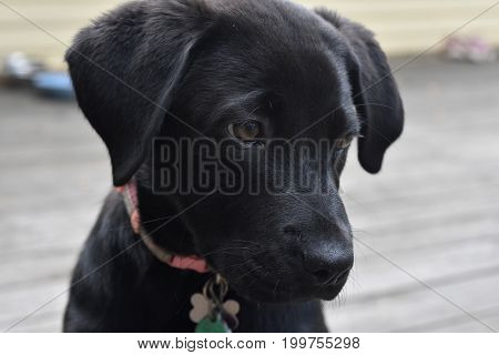 Sweet face with a solemn face of a black lab puppy dog.
