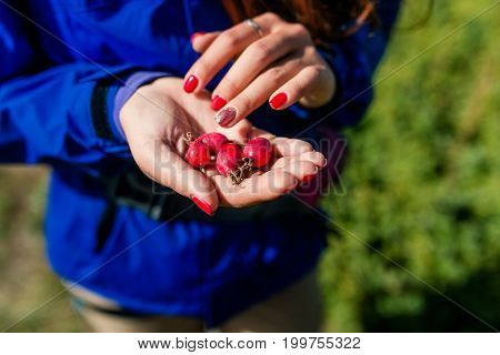 Red Rose Hips In Woman Hands