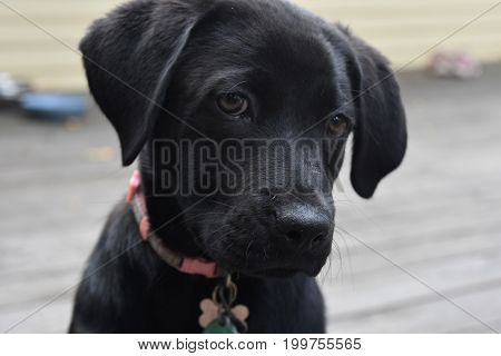 Adorable face of a black lab puppy dog up close.