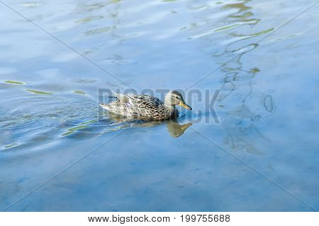 A gray wild duck swims along the blue water of a river on a sunny day