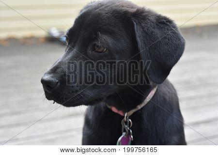 Beautiful profile of a black lab retriever puppy.