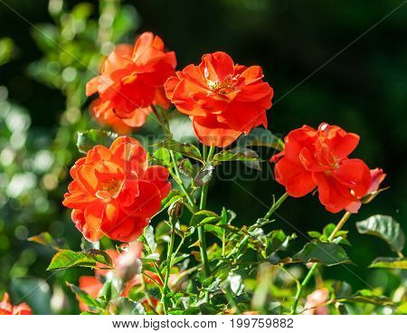rose flower grade matangi, unusual shape and bright color with snow-white impregnations and specks, bush grows in garden lit by the sun, several bright flowers in full bloom, background green grass