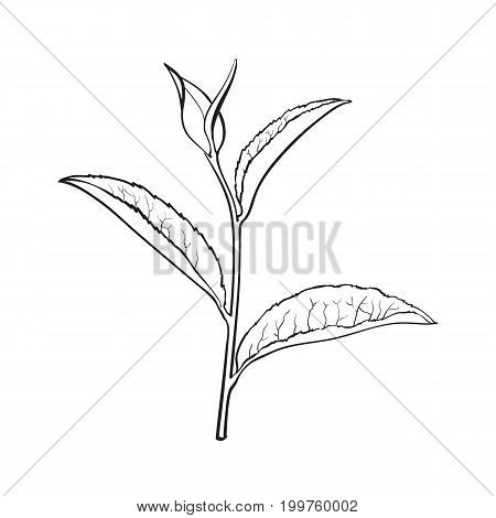 Hand drawn tea leaf, side view sketch style vector illustration isolated on white background. Realistic hand drawing of tea leaves, side view sketch style illustration, decoration element