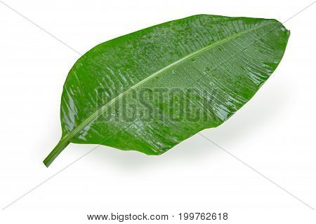 Wet Banana Leaf Tropical Plant Isolated On White