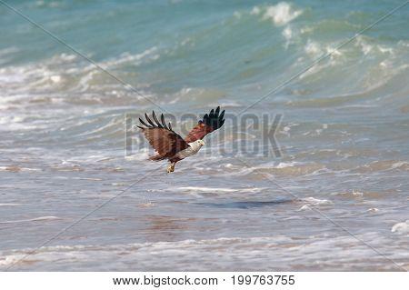 Eagle attacking prey on the seashore India