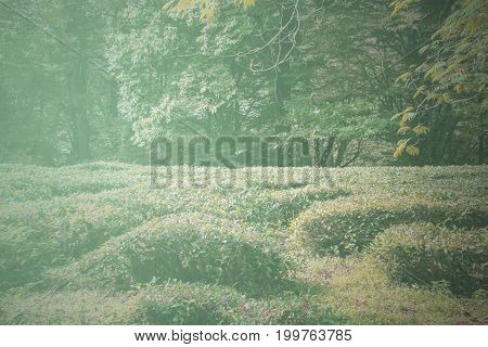 Green bushes background. Tea field in forest.  Toned picture