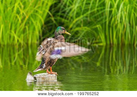 Male Mallard Duck (anas Platyrhynchos) Standing And Moving Wings