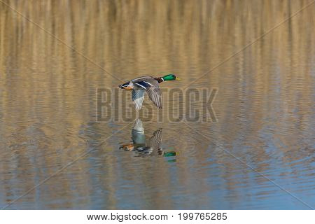 Flying Male Northern Mallard Duck (anas Platyrhynchos) Over Water Surface