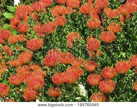 A BUSH FULL OF PINCUSHION PROTEAS. PINCUSHION PROTEAS ARE NATIVE TO SO SOUTH AFRICA AND ZIMBABWE