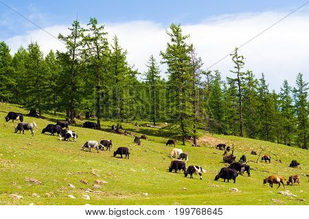 Herd of Mongolian yaks and cows on pasture