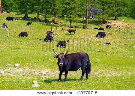 Mongolian yak in the herd on the pasture